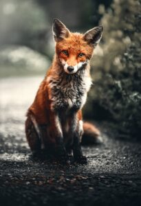 2 Blog - How do you tame a human 1 - The taming of the Siberian Fox