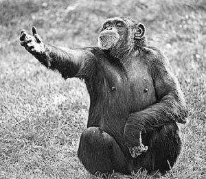 Chimpanzees have been exhibited to use 66 different hands signals - TDN Blog