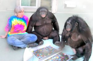 Kanzi, a male bonobo, has been a subject of many researches on linguistic capabilities of great apes.