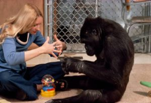 Koko, a low land gorilla, was just an infant when he was introduced to Francine Patterson.