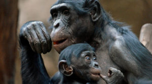 bonobos have musical abilities resembling snowball - Think Different Nation