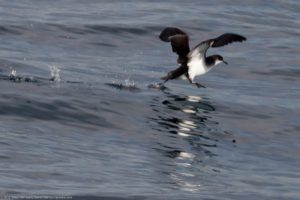 How-does-spatial-cognition-of-animals-help-them-in-navigation-Manx-shearwater - Think Different